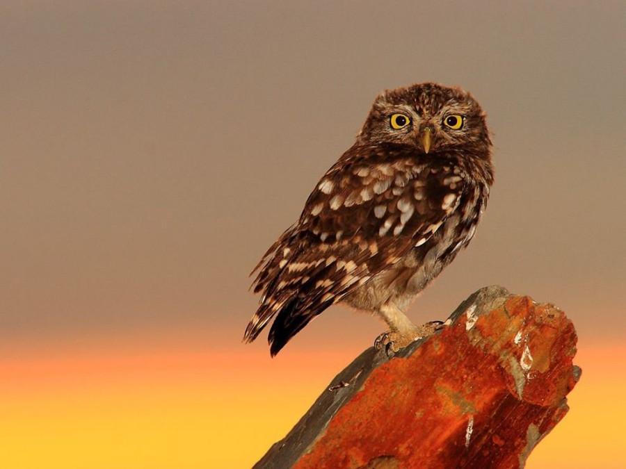 1294596923_little-owl-spain_30719_990x742[1]