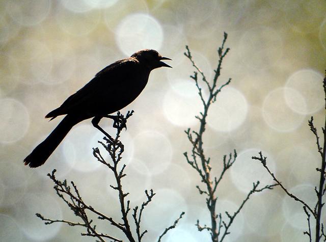 blackbirdbokehlj