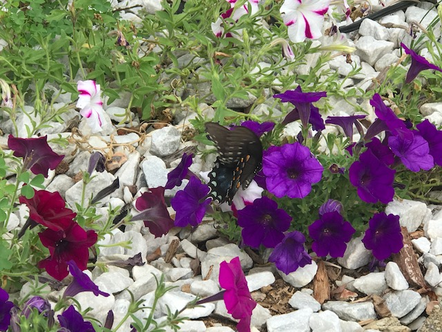Any lepidoptera experts out there? I think this might be a spicebush swallowtail.