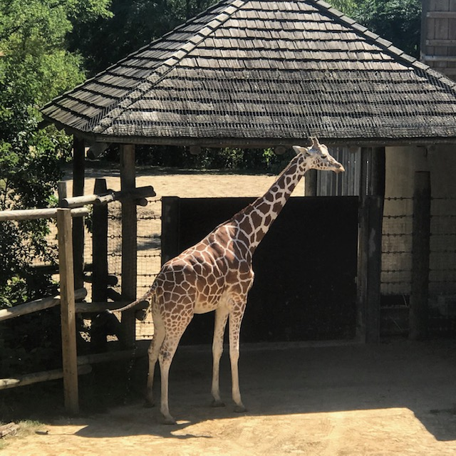I FINALLY get a good shot of the giraffe, but I guess it posed long enough to take a gigantic giraffe tinkle. Maybe I'm not cut out to be a photographer! lol