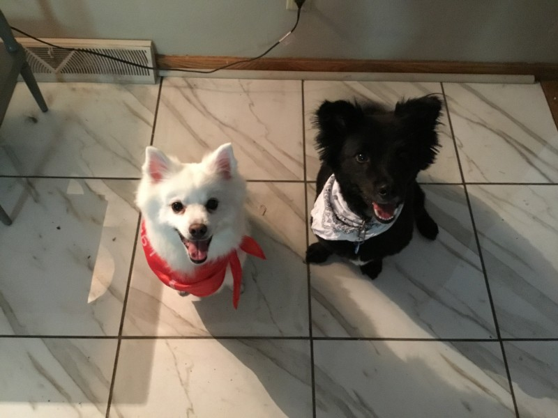 """Primo, left, is our little ankle biter. We call him Devil Doggie, but he is so incredibly sweet with people he knows and trusts. He's an American Eskimo Spitz. Reno, on the right, loves EVERYONE.He's our rescue pup and we believe he is part corgi (short little legs--hubs calls him our """"waddling watermelon!"""" haha) and part Border Collie. Both boys are super smart--Reno has a slight edge over Primo there, but Primo is much more lithe. Thinks he's a cat, and can get himself on top of things that seem impossible."""