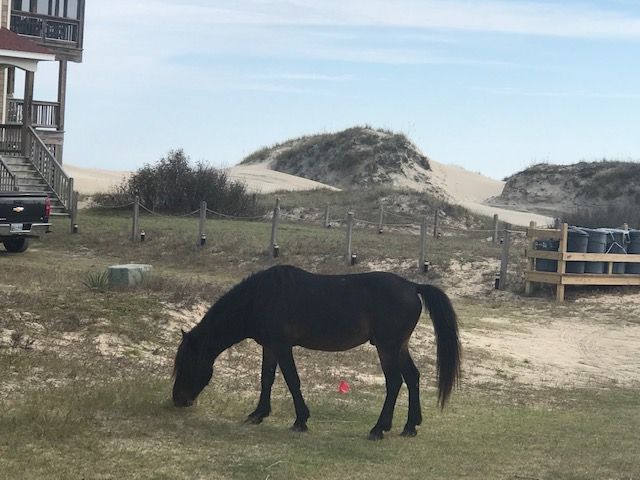 Wild Mustang along the Outer Banks, NC