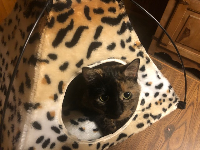 Cressie loves the kitty tent Santa brought for her. ♥