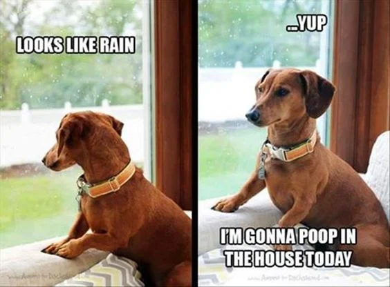 Gads, I sincerely hope this is not what the puppy boys have planned today. Both of them, however, are prissy about going out in the rain.