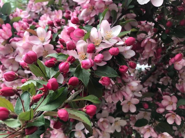 Ornamental cherry tree in bloom