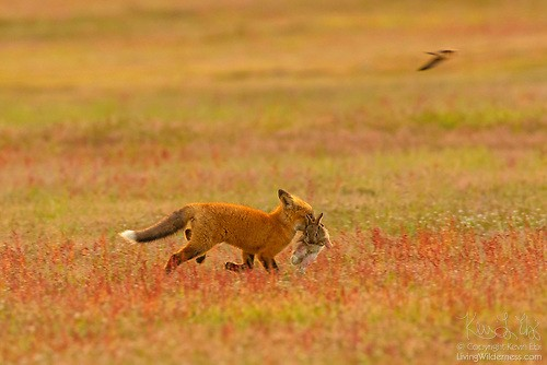 A red fox _Vulpes vulpes _runs with a European rabbit _ Oryctolagus cunuculus _ it caught in the prairie of San Juan Island National Historical Park on San Juan Island, Washington