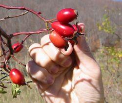 picking rosehips