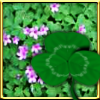 12 - shamrocks flowers shamrock