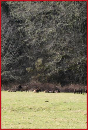 Elk on the way to Long Beach, Washington