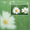 daisy green back