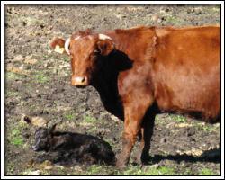 Feb 18 2010 - Sauvie Island - cow and calf 1