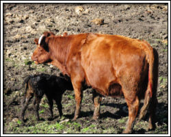 Feb 18 2010 - Sauvie Island - cow and calf 5