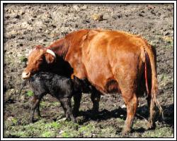 Feb 18 2010 - Sauvie Island - cow and calf 6