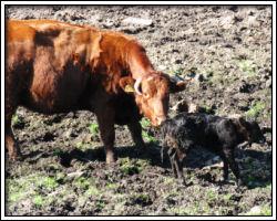 Feb 18 2010 - Sauvie Island - cow and calf 8