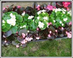 begonias ready to plant