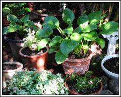 plants under lilac bush