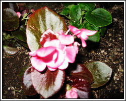 begonia in front bed