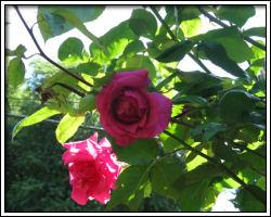 corner roses