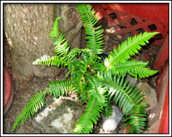 Our new fern