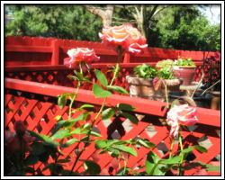 Roses loving the sunshine!