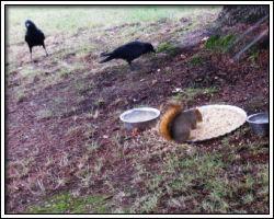 2010 November - crows