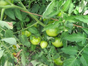 Kruger's Farm - 3 - Tomato vine