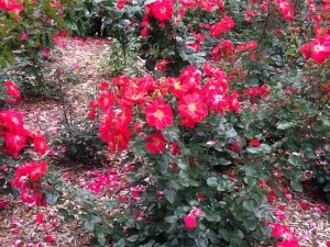 roses-pp