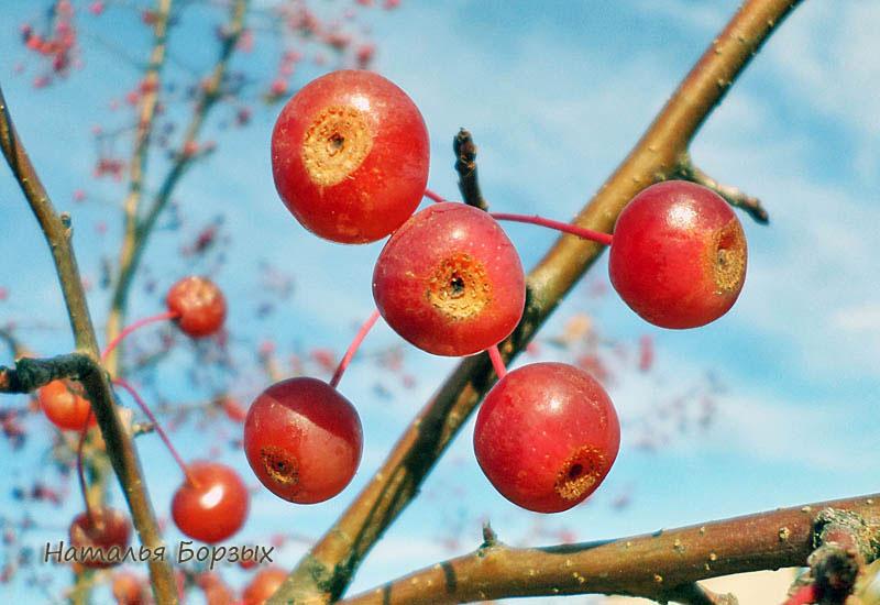 яблочки, побитые морозом