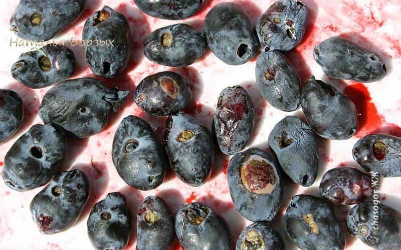 повреждённые ими ягоды
