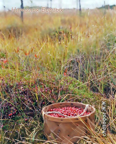 собираю клюкву на болоте, 1997 год