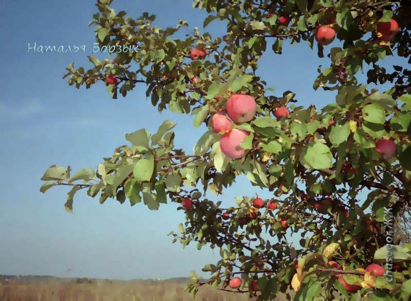 дикая яблоня среди поля