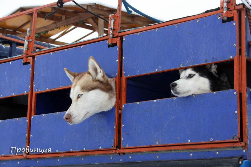собаки приехали в вагончике