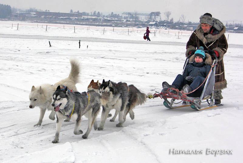 четвёрка ездовых собак