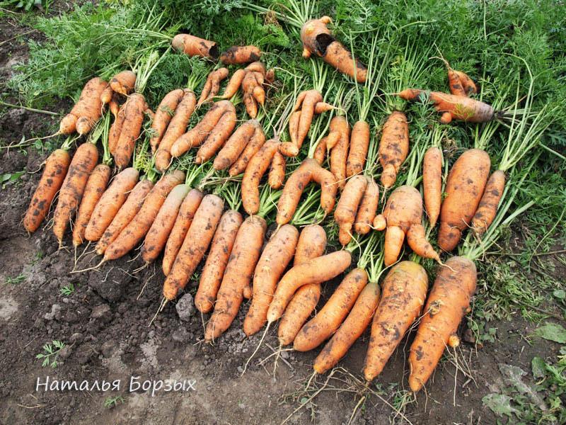 выкопанный урожай Тушон