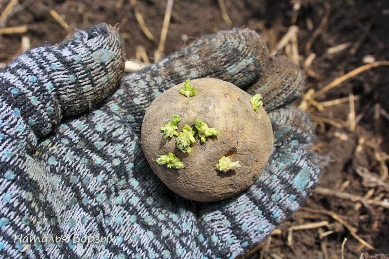 живая картошка