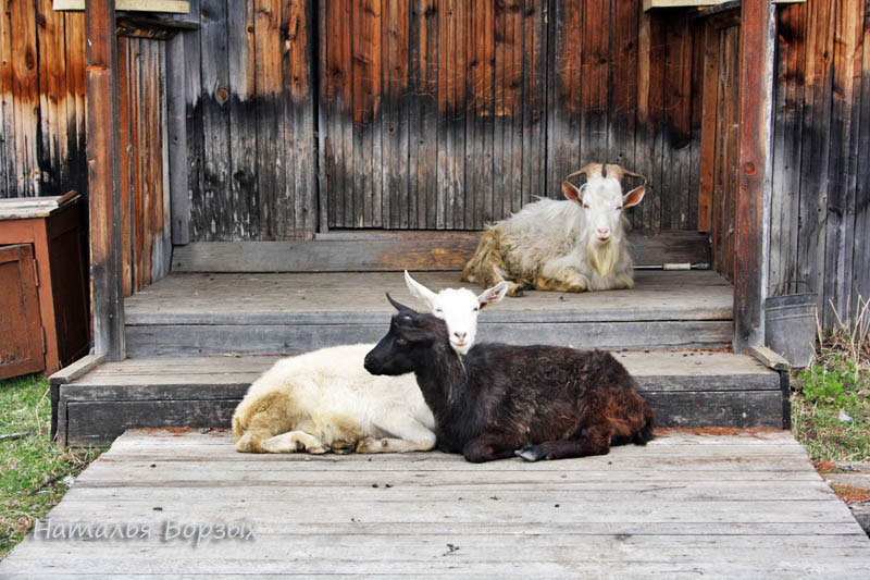 Анины козы