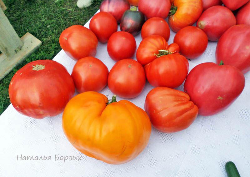 Зоины помидоры - самые крупные и спелые