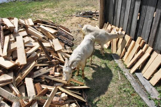 вездесущие козы