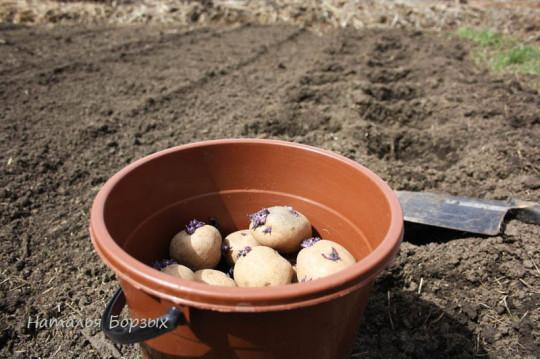 начинаю сажать пророщенную картошку