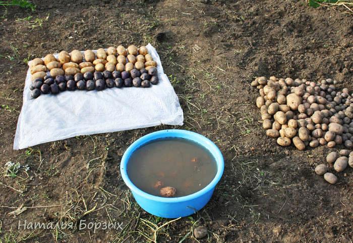 мою весь картофель прямо в огороде
