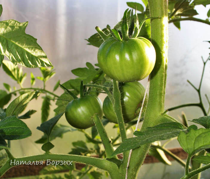 безрассадные томаты в теплице 29 августа