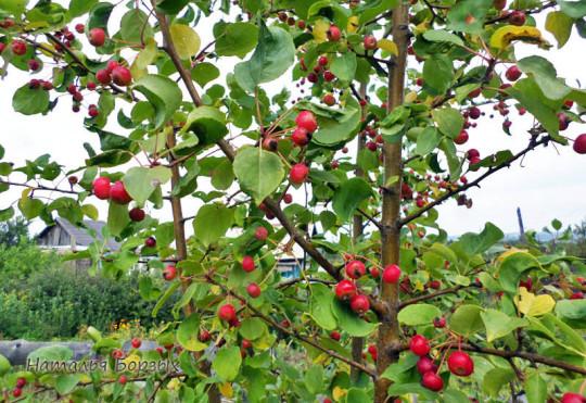 декоративная яблоня дичка