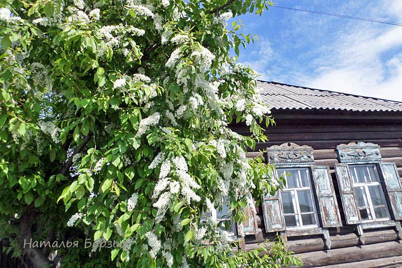 даже заброшенные дома украшены цветением черёмухи
