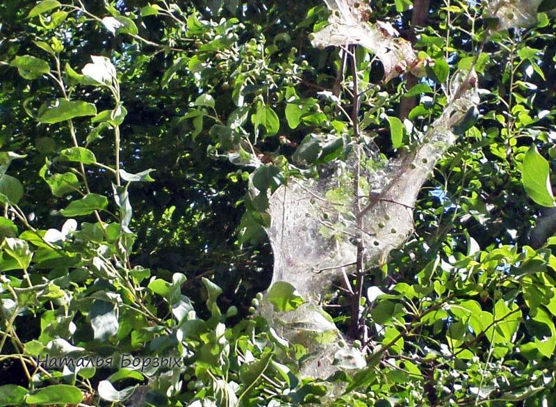 злостный вредитель появился в Свирске: горностаевая моль, поражающая сады
