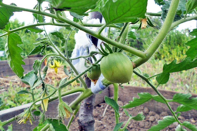 томаты с завязями