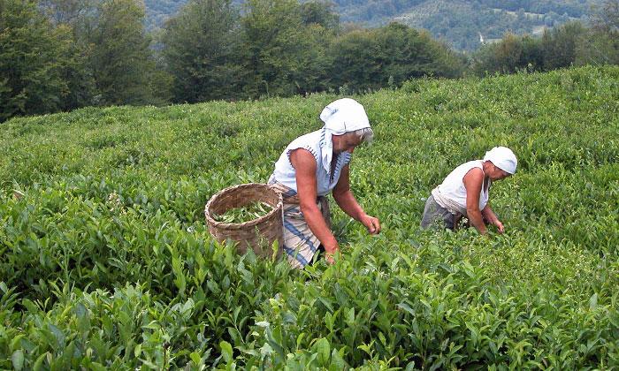Сбор чая в краснодаре