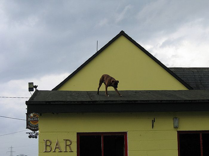 dogs_on_roofs_53
