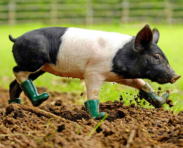 cool-pig-in-boots