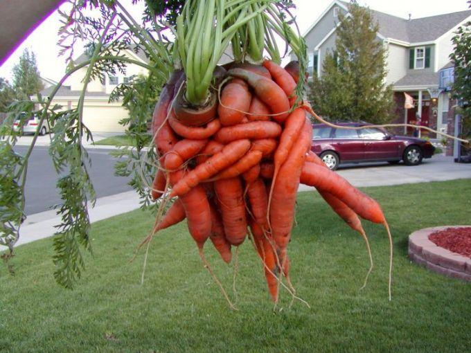 morkovka-udalas-fotografiy-4