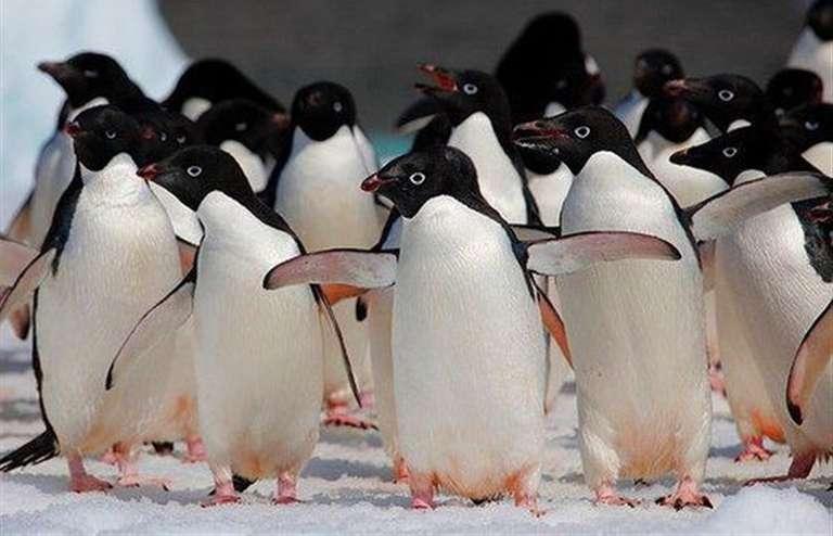 пингвин адели фото знаменитый хит